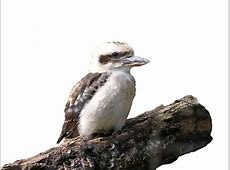 Kookaburra Coffee